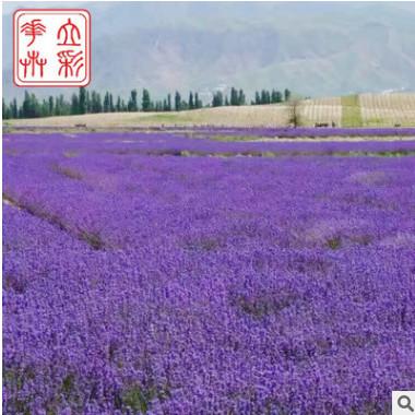 地被植物 资深培育专家 地被薰衣草批发选立彩花卉