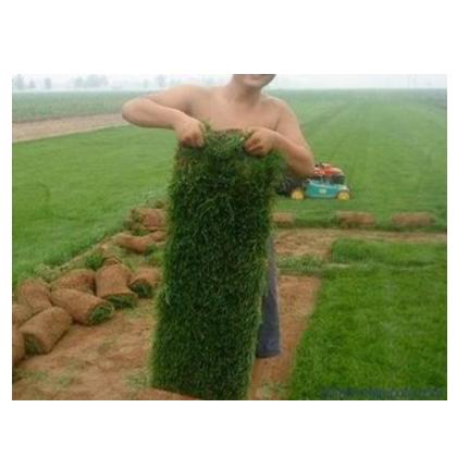 供应优质马尼拉草皮
