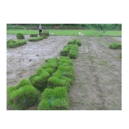优质马尼拉草皮 草皮多少钱一平方米