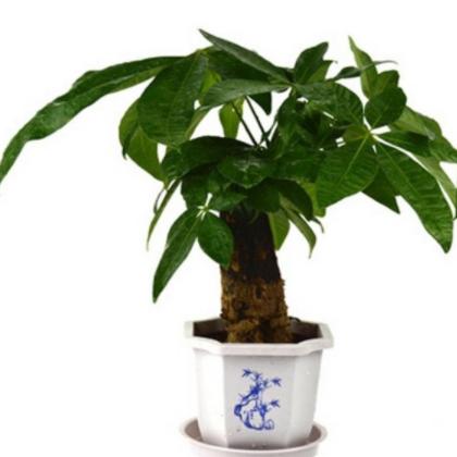 发财树多单杆盆栽花卉