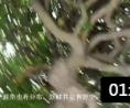 园林技术员培训 认知龙爪槐 (8播放)