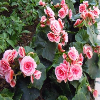 盆栽花卉批发丽格海棠盆栽室内桌面观花植物净化空气四季海棠
