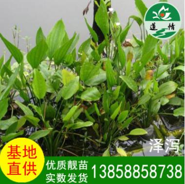 温州莲情 泽泻水生植物 工程用绿化苗