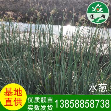 温州 水生植物 水葱 湿地绿化