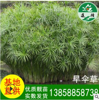 水生植物 旱伞草 花卉盆栽植物 景观水竹 净化水质