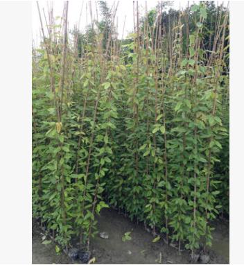 供应优良常春藤本植物油麻藤 牛马藤