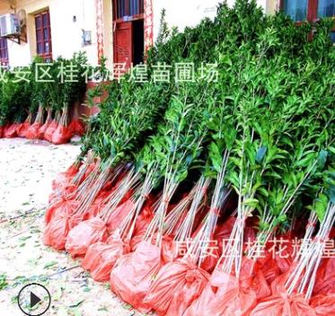 桂花之乡销售桂花树苗30-180厘米 丹桂金桂批发规格多品种齐