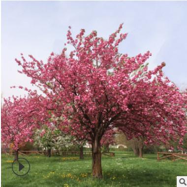 基地现货批发优质早樱花树苗价格优惠早樱花树苗成活率高可供观赏