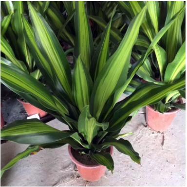 室内高档花卉盆栽 净化空气盆景(A280)金心也门铁