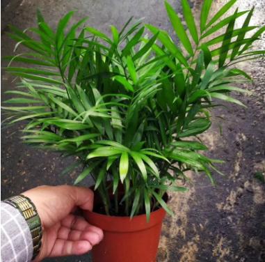 观叶植物小盆栽 苔藓微景观背景植物(120)袖珍椰子