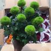 高档小盆栽花卉观花植物工程时花 带花带苞
