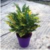 【基地直销】观叶植物小盆栽 星点木 净化空气绿植(A90)洒金