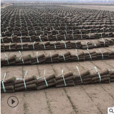 果岭草 马尼拉 混播黑麦草 百慕大 工程绿化 基地大量 价格优惠