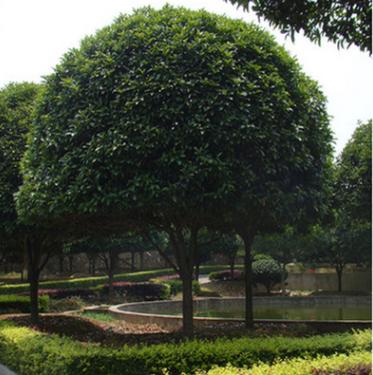 供应低分支高分支桂花树22公分,桂花树