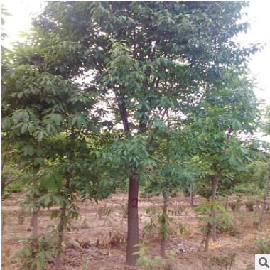 供应丝棉木 泰安丝棉木14公分以上 树干通直 树型饱满