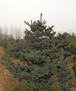 供应园林绿化苗木 五针松盆景 造型五针松 泰安优质五针松1-3米
