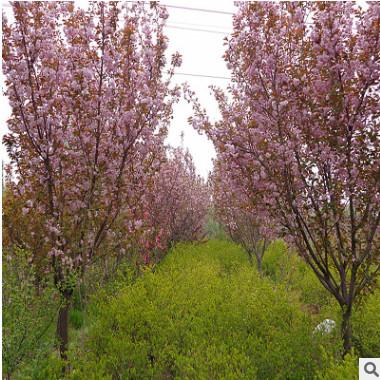 批发樱花 优质日本晚樱 泰安樱花10公分以上一级苗 树形饱满