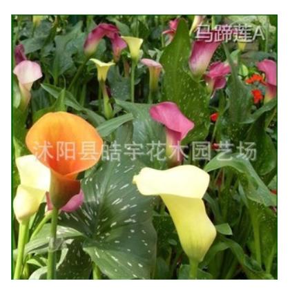 供应 球根花卉植物【马蹄莲】彩色马蹄莲 杂交马蹄莲等各种种球