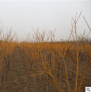聚金点苗圃基地直销黄金槐 价格优惠绿化工程城市道路黄金槐树