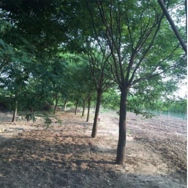 国槐树 木材耐水湿公园适建筑四周街坊住宅国槐