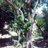大型杨梅树花木