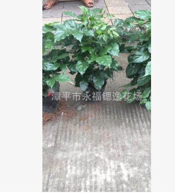 盆栽绿植四季长期花卉 180杯绿宝 50公分左右高度和七八十公分高