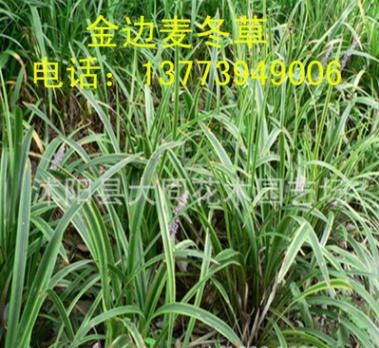 直销地被绿化植物 金边麦冬 庭院地栽 盆栽 金边麦冬草