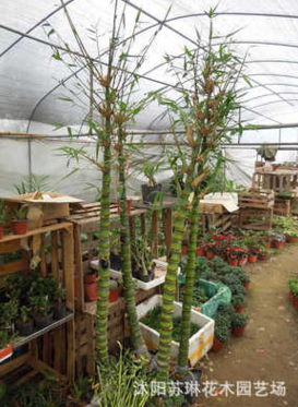 花卉盆景室内盆栽观叶植物 水培佛肚竹又称佛竹 罗汉竹 盆景竹子