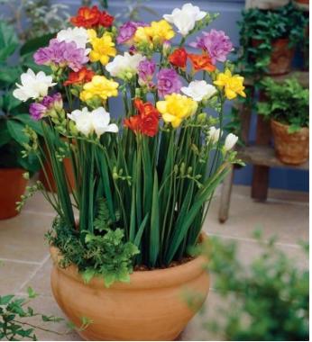 荷兰香雪兰种球多年生球根花卉小苍兰小菖兰素香兰香鸢尾