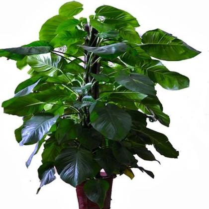 蓝达 大型观叶绿植 绿萝 黄金葛-柱状大叶绿萝 绿萝柱 净化空气