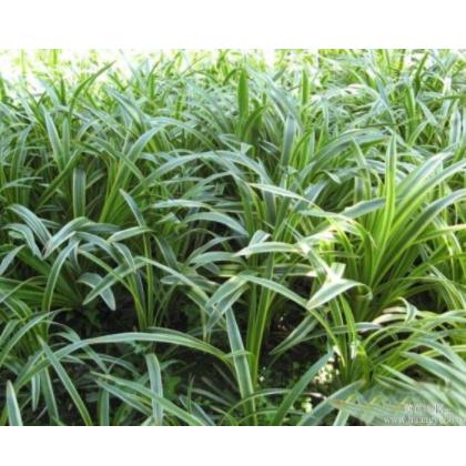 供应地被植物-麦冬草,大量出售麦冬