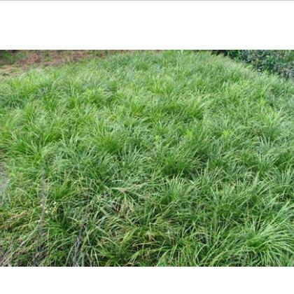 供应地被植物-日本矮麦冬,大量出售日本矮麦冬