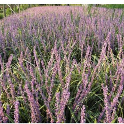 供应彩叶地被植物-金边麦冬,别名花叶麦冬、彩叶麦冬 举报