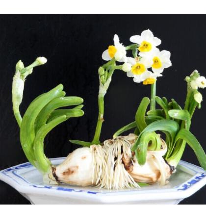 精品水仙花造型特异欢迎选购