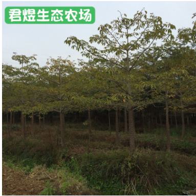 福建漳州绿化苗木 园林绿化木棉