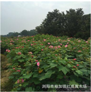 园林绿化常用苗 基地直销1米-2米高木芙蓉 芙蓉花价格