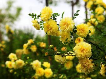 陕西优质黄刺玫直销西藏新疆优质黄刺玫批发量大优惠