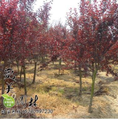 供应园林绿化紫叶矮樱