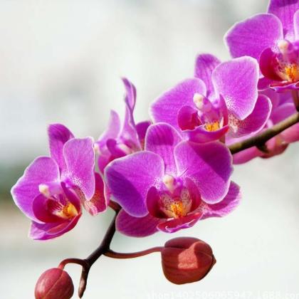 出售蝴蝶兰 室内外有氧盆栽 净化空气植物 量大优惠