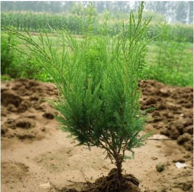 绿化苗木批发 绿化小苗 地柏 园艺花卉 庭院绿化苗木 铺地柏观叶