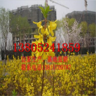 批发园林绿化植物 工程苗 连翘小苗 丛生灌木 黄老虎苗