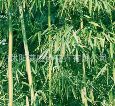 基地直销竹子 紫竹 庭院绿化的竹子青竹黄金竹青竹早园竹产品齐全