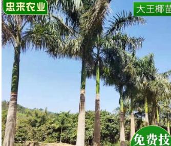 广西大王椰苗基地批发 海南风情景观树棕榈植物苗圃直发大王椰苗