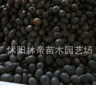 长期供应碗莲种籽 优质碗莲种籽 优质种子