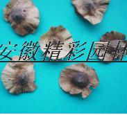 青钱柳种子