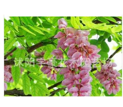 批发零售 紫花橞槐