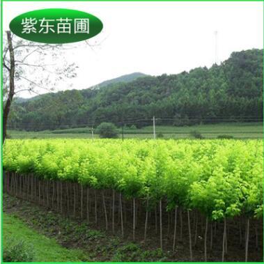 批量提供 开原金叶复叶槭接穗 金叶复叶槭接穗2.5--5公分