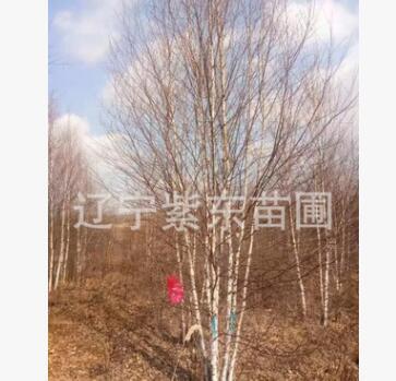 大量供应丛生白桦树苗 量大优惠 保成活