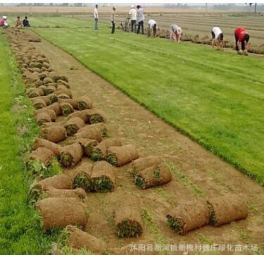 耐寒耐旱耐践踏草皮 四季青果岭草坪 庭院工程绿化专用草坪