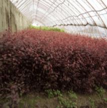 红叶李营养钵苗